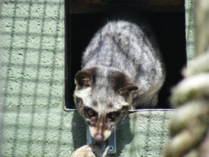 Common palm civet (toddy cat)