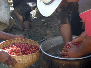 Coffee Bean Locations: Mexico - Cleaning Mexican Organic Coffee