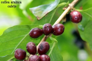 coffea arabica o cafeto (a picture of the best arabica coffee beans)