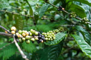 varietal of robusta beans used by robusta coffee brands