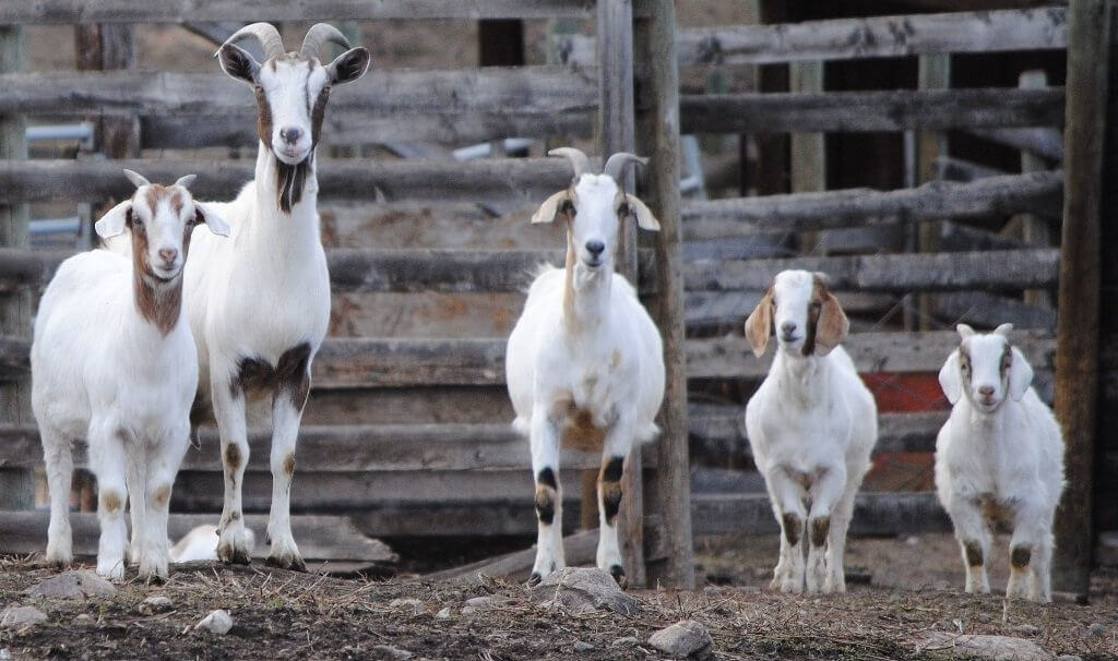 happy goat family