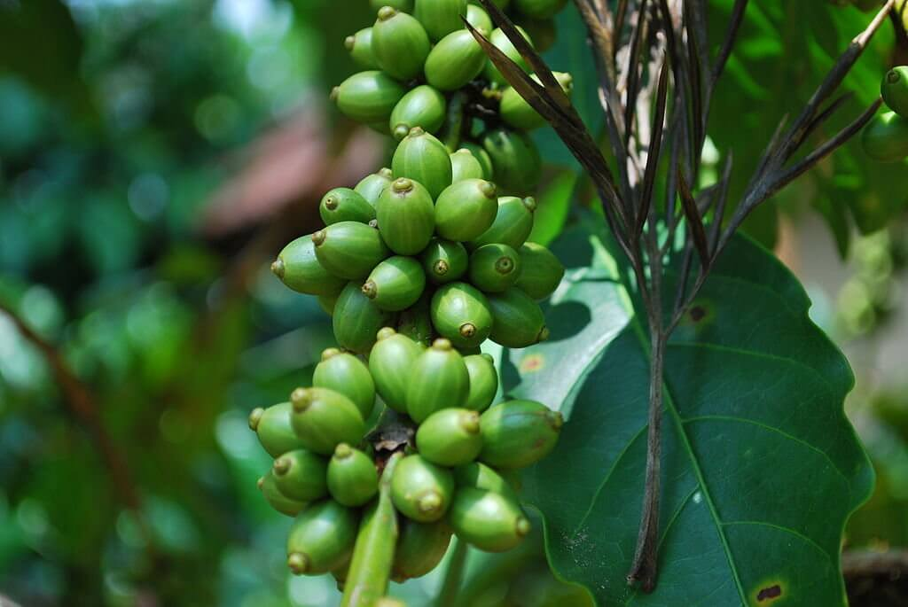 Coffee seeds green Shimoga India