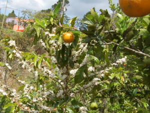 Coffee tree and orange trees, multicroping in Maricao, Puerto Rico.